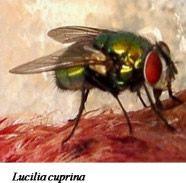 Green Blowfly