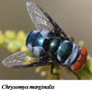 Blue Blowfly