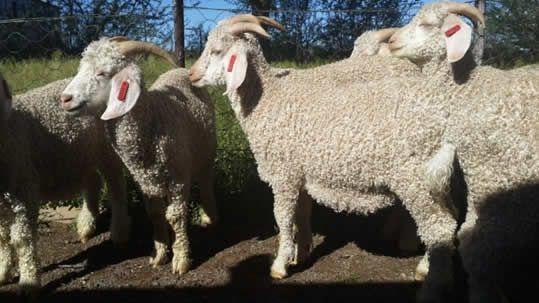 Swelsiekte Swelling Disease In Angora Goats